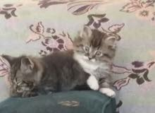 قطط شيرازي للبيع وبسعر مناسب جدا
