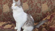 للبيع قطة شيرازية هادية جدا بسعر مغري