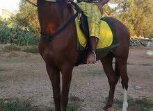 حصان اشقر  حصان ربي يبارك سرعه ثباته طايب بالمارشه حصان جيهة الجنس 92٪
