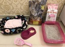 قطه صغيره شيرازي للبيع