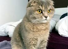 Scottish fold catقط سكوتش فولد ذكر