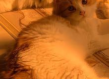 قطط شيرازي عمرها خمس شهور