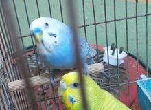 زوج طيور حب صافي الجناح