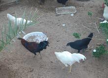 حمام والدجاج