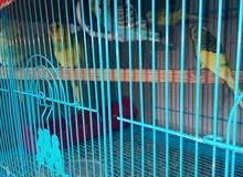 طيور حب للبيع أمايات وبزارات