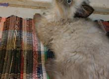قطة صغيرة رمادي هملايا