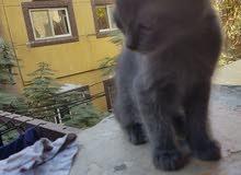 قطط برتشن للبيع