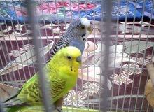 وج طيور البادجي لونان جميلين الانثى زرقاء ذو راس ابيض الذكر اخضر جاهزين للانتاج