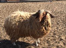 خروف للبيع سن ارباع السعر 1300