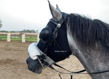 مطلوب حصان عربي اصيل