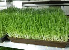 أعلاف خضراء طازجة يوميا