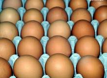 بيض هندي للبيع