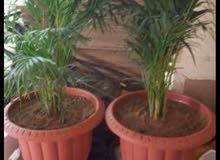 تنسيق الحدائق وعشب صناعي زهورة وشتلات زراع النخل