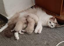 قطة راغ دول معى تلاتة قطط صغار