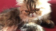 pure persian female cat