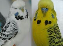 مطلوب ( طفرات بادجي ) طيور حب طفرات فقط