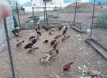 دجاج بلدي للبيع...........