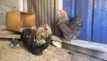 دجاجة وفروج  استرالي للبيع