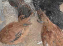 دجاج صغير عمره 3 اشهر للبيع