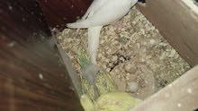 طيور حب شغالات