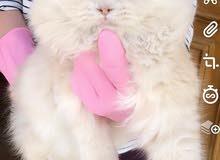 قط أنثى النوع أمريكي  العمر 4 شهور.
