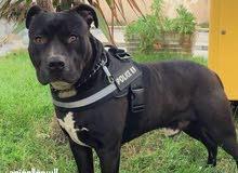 كلب بيتبول بيور عمر 6 اشهر
