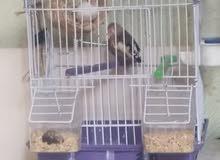 طيور زيبرا ذكر وانثى