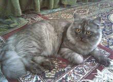 قطة حامل شيرازي بيور