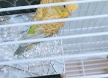 طيور الحب (كناري)