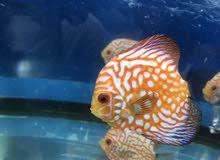 Rad Discus fish