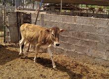 أبقار عمانية