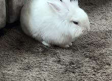 ارنب ليون هد