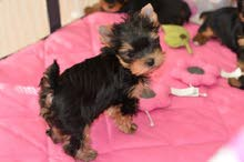 Trained Yorkie Puppies for sale