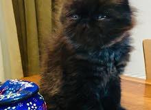 قطط هملايا سلالة نقي جدا