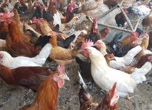 فرصة دجاج عماني بياض أقل من سعر السوق