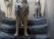 كلب هاسكي عمر ثلاث اشهر للبيع