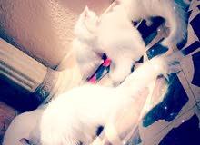 قطط شيرازي للبيع القطة ب 20 دينار