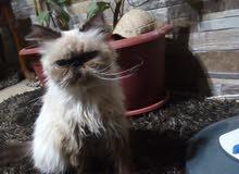 قطه انثاي النوع هيمالايا للبيع المستعجل