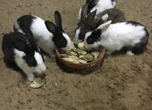 أرانب محلية منتجات