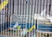 طيور حب حوالي 20 جوز