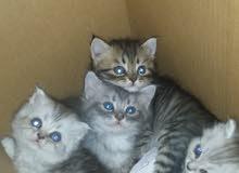 قطط شانشيلا وشيرازى تايجر عمر شهر