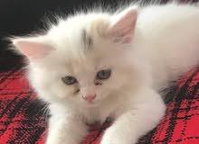 للبيع قطط. شيرازي