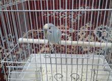 طائر جميل صغير اللون ازراق أو سماوي