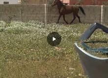 حصان عمر 4 سنين ونص