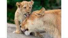 شبل أسد او نمر