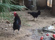 للبيع ديك ودجاجه لاقوة لابالله