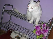 قطه أنثى