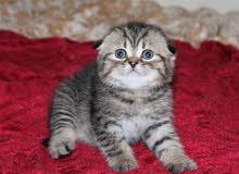 قطط بريتش بلو وسكوتش فولد للبيع