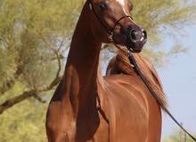 اسطبل ايواء خيول
