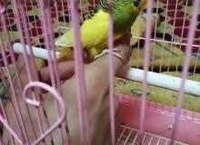 طير حب اليف للبيع بالخبر